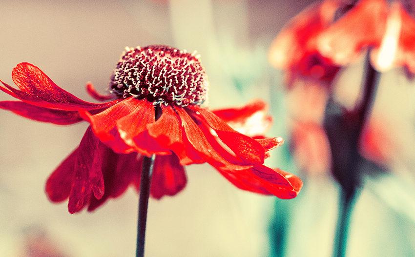 La hierba de cohosh negro y los síntomas de la menopausia